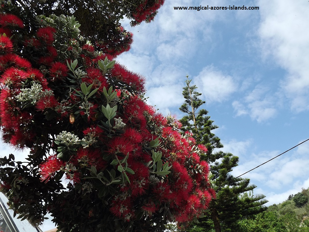 Caloura, Sao Miguel, Azores. A pretty fishing port and village on the south coast.  These flowers bloomed on a tree in May 2016  Picture taken in 2016