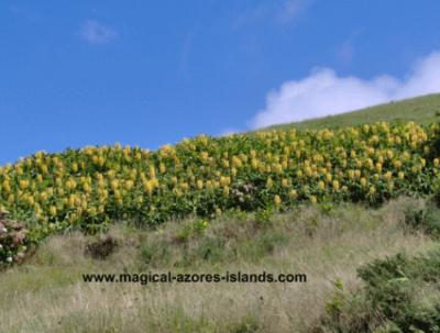 Ginger plants at Santa Iria Miradouro (lookout) in August