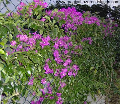 Purple Azores flowers