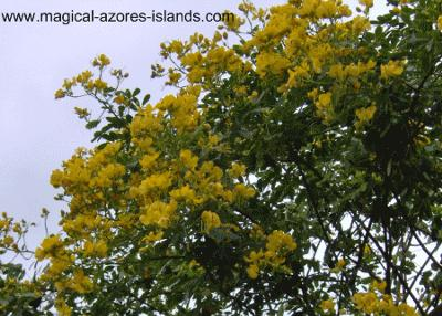 Yellow Azores Flowers
