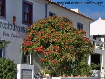 Pointsettia Tree in Faial Azores