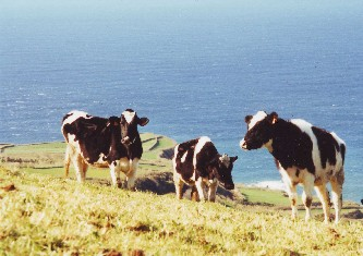 About the Azores Islands. Cattle Farming is a major industry
