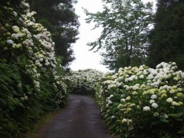 Azores Island Hydrangeas