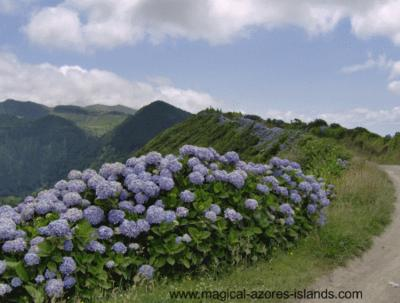 Hydrangeas lining the crater road of Sete Cidades in July